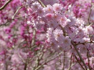 桜,ピンク,花びら,つぼみ,桃色,春色,ピンクだらけ