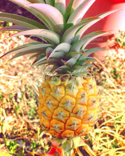 helloパイナップルの写真・画像素材[1763668]