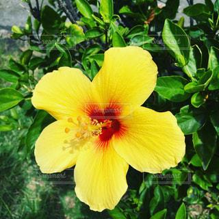 自然,植物,南国,ハイビスカス,黄色,日光,お花,イエロー,お散歩,元気カラー