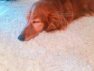 犬の写真・画像素材[510673]