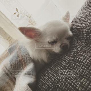 お昼寝中の愛犬の写真・画像素材[512520]