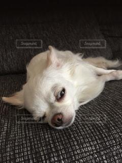 犬の写真・画像素材[514909]
