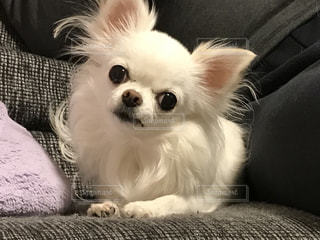 雪のような真っ白な犬 チワワの写真・画像素材[933068]