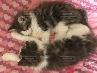 猫,動物,かわいい,ペット,人物,ノルウェージャンフォレストキャット,兄妹,ネコ,猫の日,222