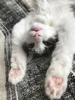 猫,動物,かわいい,ペット,人物,ノルウェージャンフォレストキャット,ネコ,猫の日,222