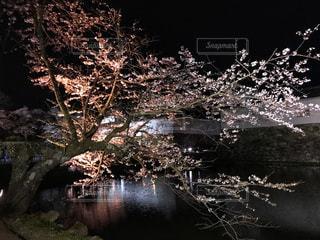 夜桜の写真・画像素材[1974526]