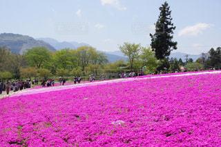 紫色の花のフィールドのグループの写真・画像素材[878729]