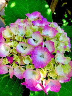 夏,ピンク,植物,白,あじさい,葉っぱ,紫,鮮やか,爽やか,紫陽花,梅雨,ビビット,アジサイ,キレイ,キミドリ
