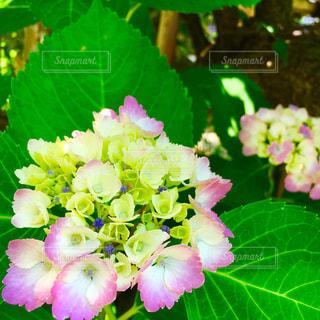 夏,ピンク,植物,白,あじさい,葉っぱ,紫,鮮やか,爽やか,紫陽花,梅雨,ビビット,アジサイ,キレイ,キミドリ,多色