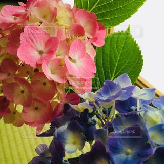 花,ピンク,植物,水色,紫陽花,和室,ブルー,畳,ビビット,障子,淡い,陽だまり,アジサイ,フォトジェニック,多色