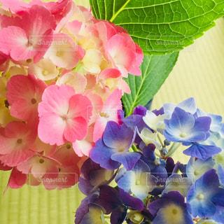 花,ピンク,植物,かわいい,あじさい,紫,水色,鮮やか,紫陽花,和室,ブルー,畳,梅雨,ビビット,障子,淡い,陽だまり,アジサイ,フォトジェニック,多色