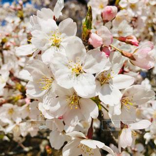 サクラ咲くの写真・画像素材[2024229]