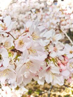 春,桜,ピンク,カラフル,鮮やか,サクラ,樹木,お花見,さわやか,桃色,スプリング,季節感,4月,さくら,はる,フォトジェニック