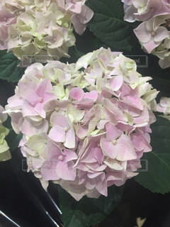 紫陽花 - No.538174