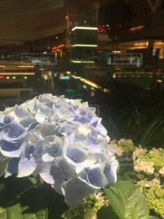 紫陽花の写真・画像素材[538177]
