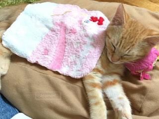 就寝猫の写真・画像素材[989349]