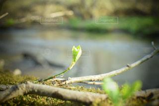 森の川に生えてる木の新しい芽に雫の写真・画像素材[2140751]