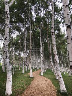 フォレスト内のツリーの写真・画像素材[790910]