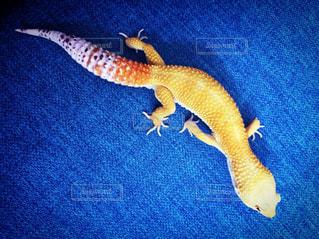 青い毛布の上に横たわる爬虫類の写真・画像素材[973487]