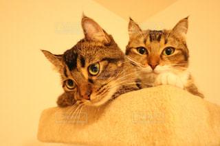 カメラを見ている猫 - No.817449