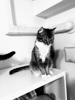 カウンターに座っている猫の写真・画像素材[819856]