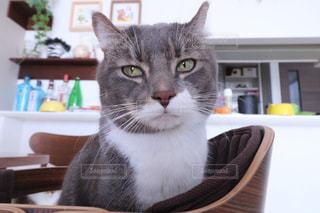 灰色と白猫がテーブルに座っての写真・画像素材[973615]