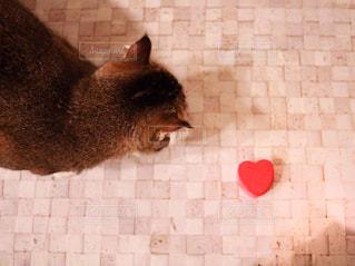 猫,かわいい,ペット,ハート,かわいい猫,チャバ