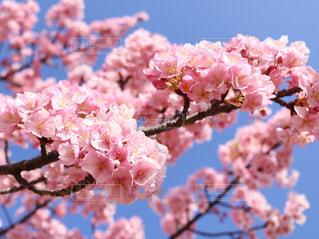 旧中川の河津桜の写真・画像素材[1122709]