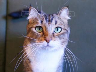 カメラを見ている猫の写真・画像素材[1197035]