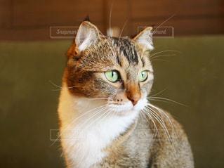 カメラを見ている猫の写真・画像素材[1197037]