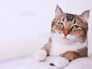 白い面の上に横たわる猫の写真・画像素材[1254944]