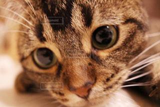 近くにカメラを見て猫のアップの写真・画像素材[1255051]