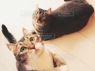 カメラを見ている猫の写真・画像素材[1259558]
