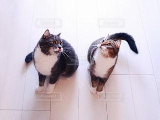 カメラを見ている猫の写真・画像素材[1259559]