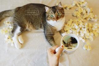 テーブルの上に座って猫の写真・画像素材[1454000]