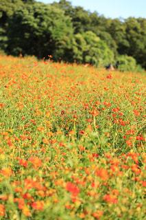 お花畑,花畑,コスモス,フラワー,お花,キバナコスモス,浜離宮恩賜庭園