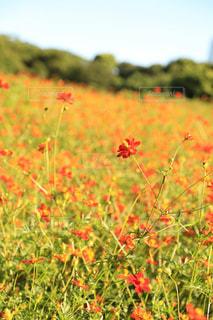 花,お花畑,花畑,コスモス,フラワー,お花,キバナコスモス,浜離宮恩賜庭園