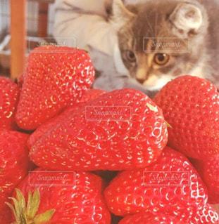 猫,にゃんこ,赤,いちご,果物,ねこ,子猫,くだもの,ストロベリー,アメリカンカール,ホワイトデー,高い,イチゴ,あまおう,ポン太