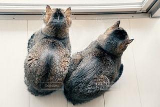 猫,にゃんこ,かわいい,仲良し,ねこ,ハート,子猫,cat,姉妹,哺乳類,マーク,もふもふ,チャバミッコ