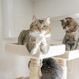 鏡の前に座ってカメラのポーズをとる猫の写真・画像素材[4227095]