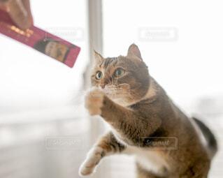 カメラを見ている猫の写真・画像素材[4244948]
