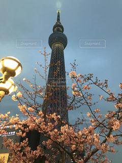 桜の写真・画像素材[565509]