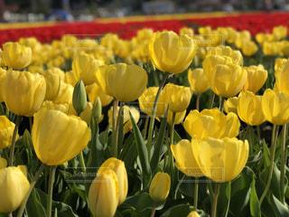 花,春,赤,黄色,景色,チューリップ,鮮やか,外,伯太,安来