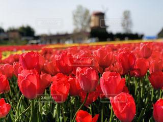 花,春,赤,風車,景色,チューリップ,鮮やか,外,伯太,安来