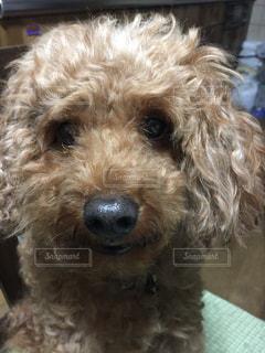 犬,トイプードル,愛犬,目,マーキュリー