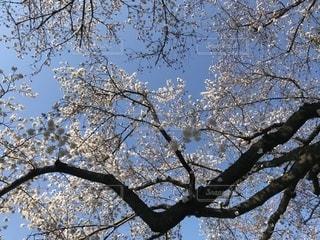 大きな木の写真・画像素材[1136078]