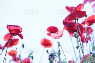花の写真・画像素材[526390]