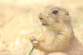 カメラを見て齧歯動物の写真・画像素材[721257]