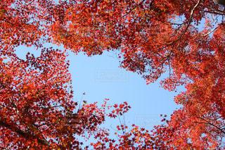 瑠璃光院の紅葉の写真・画像素材[866893]