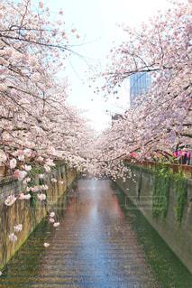 花,春,桜,屋外,ピンク,青空,川,満開,ハート,目黒川,リフレクション,Spring,さくら